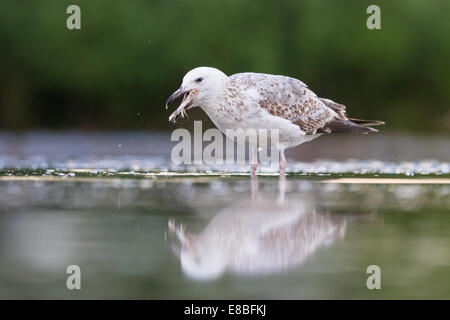 Sub-adult Yellow-legged Gull (Larus michahellis) eating a fish - Stock Photo