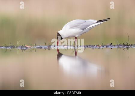 Black-headed gull (Chroicocephalus ridibundus) at the  edge of a marshland pool - Stock Photo