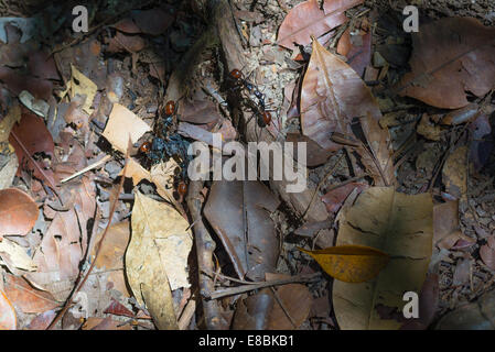 Giant ants on the ground, Borneo, Malaysia. - Stock Photo