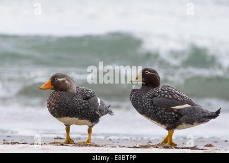 Two Flightless Steamer Duck with a wave behind them on the beach of Sealion Island, Falklands - Stock Photo