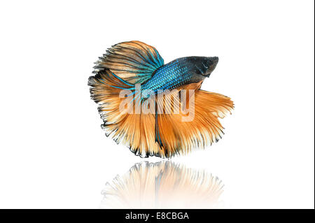 halfmoon betta fighting fish - Stock Photo