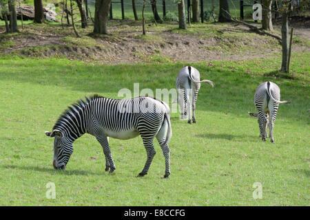 Grevy's Zebra at Edinburgh zoo, Scotland, UK - Stock Photo