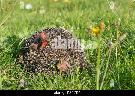 Hedgehog in the autumn forest curled. Autumn leaves on tenterhooks - Stock Photo