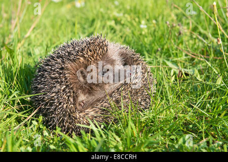 Hedgehog on back curled in the grass - Stock Photo