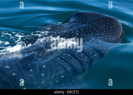Whale shark swimming in Holbox , Quintana Roo, Yucatan Peninsula, Mexico - Stock Photo