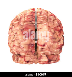 Anatomy Brain - Back View Isolated on White