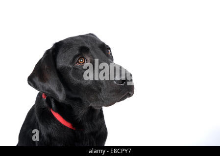Sad looking labrador retriever cut out isolated on white background - Stock Photo