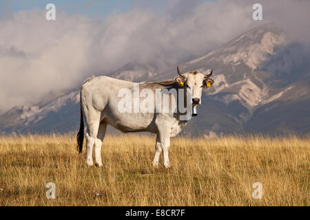 White milk cow overlooking beautiful vista on meadow in the European Appennins - Stock Photo
