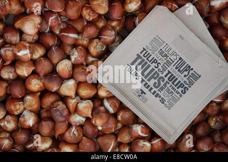Bulbs of the short stemmed Tulip Kaufmanniana Johann Strauss for sale in a garden centre, England, UK. - Stock Photo