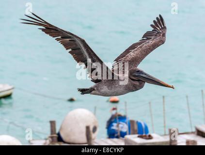 Pelican flying over the bay of Santa Cruz Island, Galapagos, Ecuador - Stock Photo