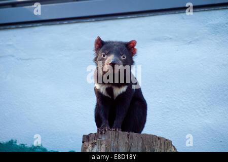 A Tasmanian devil (Sarcophilus harrisii) in captivity at Taronga Zoo in Sydney, Australia. - Stock Photo