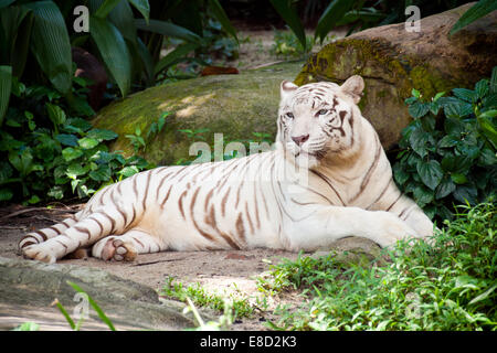 A white tiger (White Bengal Tiger) (Panthera tigris tigris) rests in the shade at Singapore Zoo in Singapore. - Stock Photo