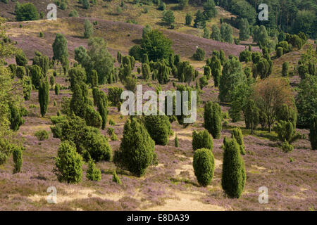 Heather (Calluna vulgaris), flowering, and Common Juniper (Juniperus communis), Totengrund Valley, Wilsede - Stock Photo