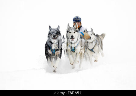 Alpine Trail Sled Dog Race 2013, Huskies, Prato Piazza alpine meadow, Fanes-Sennes-Prags Nature Park, Prags, Dolomites - Stock Photo