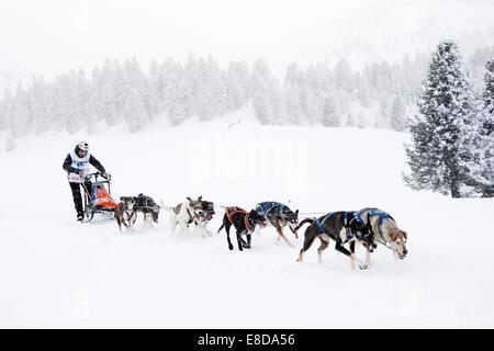 Alpine Trail Sled Dog Race 2013, Eurohounds, Prato Piazza alpine meadow, Fanes-Sennes-Prags Nature Park, Prags, - Stock Photo