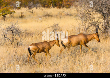 Red hartebeest, (Alcelaphus buselaphus) in dry grass, Etosha National Park, Namibia - Stock Photo