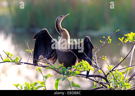American Darter or Snakebird (Anhinga anhinga), female perched in a tree drying its feathers, Wakodahatchee Wetlands - Stock Photo