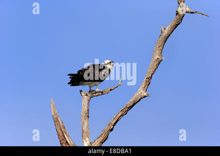 Osprey (Pandion haliaetus carolinensis), perch, Sanibel Island, Florida, USA - Stock Photo