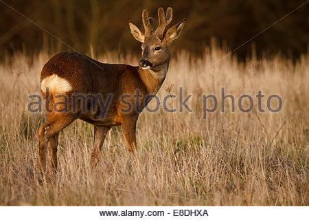 Roe Deer Buck in winter pelage with velvet covered antlers (Capreolus capreolus) - Surrey, England - Stock Photo