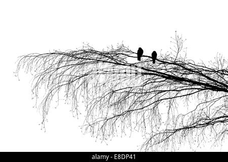 Two wood pigeons on a tree branch, looking in the opposite directions. Black and white silhouette photography