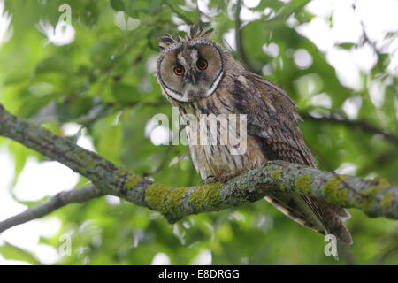 Portrait of Long-eared Owl (Asio otus), Europe Stock Photo