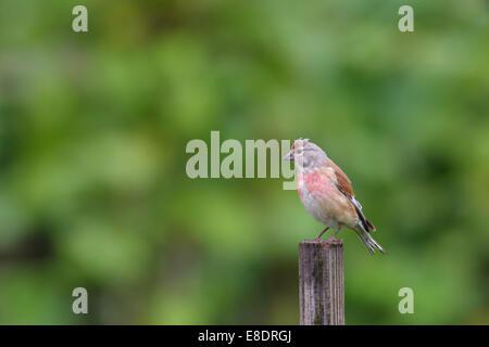 Male Common Linnet (Carduelis cannabina) in breeding plumage. - Stock Photo