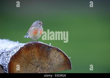 Male Common Linnet (Carduelis cannabina) - Stock Photo
