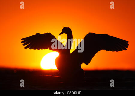 Silhouette of Mute swan (Cygnus olor) shaking his wings at sunset. Europe - Stock Photo