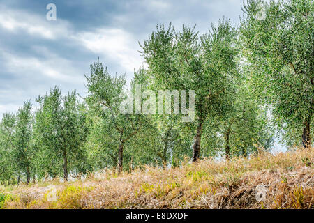 Image near Pienza with beautiful olive trees in Tuscany, Italy - Stock Photo