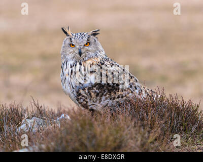 Western Siberian Eagle Owl [Bubo bubo Sibericus] posing on a rock in open heather clad scrub land. - Stock Photo