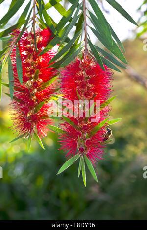 Callistemon red bottle brush flowering shrub. - Stock Photo