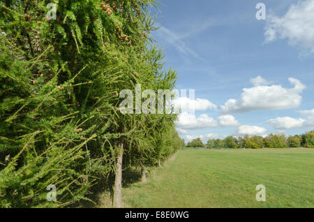row of larch trees as a boundary to sunny open grassland in British countryside dense woodland forest and trees - Stock Photo