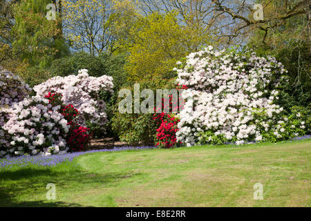Bowood rhododendron Woodland Gardens in spring, Derry Hill, Calne, Wiltshire - Stock Photo