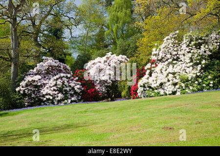 Bowood spring flowering rhododendron garden, Derry Hill, Calne, Wiltshire - Stock Photo
