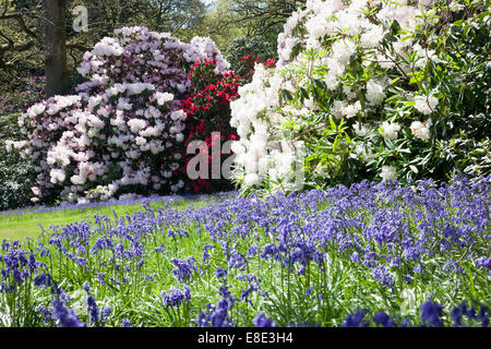 Spring in Bowood rhododendron Woodland Gardens, Derry Hill, Calne, Wiltshire - Stock Photo
