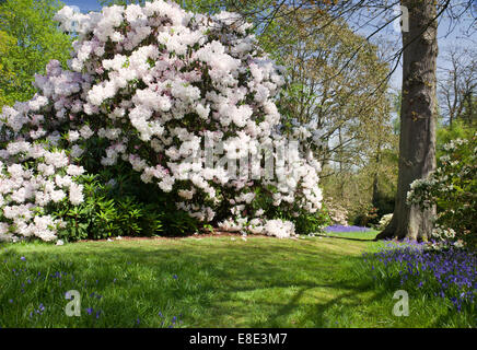 Spring in Bowood rhododendron garden, Derry Hill, Calne, Wiltshire - Stock Photo