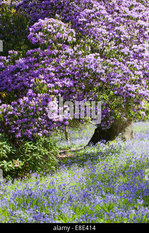 Bowood rhododendron garden in spring, Derry Hill, Calne, Wiltshire - Stock Photo