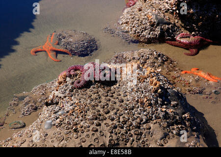 Purple and orange star fish on rocks at low tide - Stock Photo
