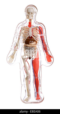 Plastic    human    body model with ans isolated on white