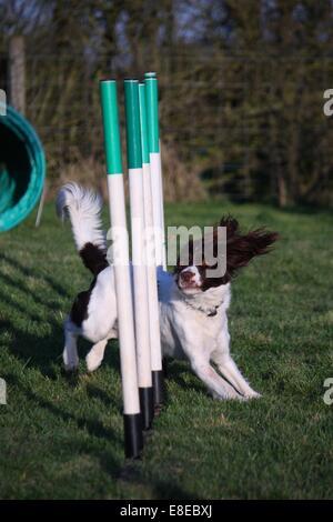 a cute liver and white working type english springer spaniel pet gundog enjoying agility - Stock Photo