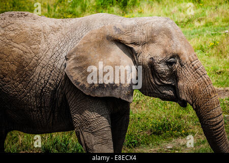 Editorial - July 29, 2014 Lonely Elephant at Parc Safari, Quebec , Canada on a beautiful summer day. - Stock Photo