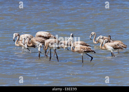 flock of young greater flamingoes in a creche walking in shallow water, Camargue, France - Stock Photo