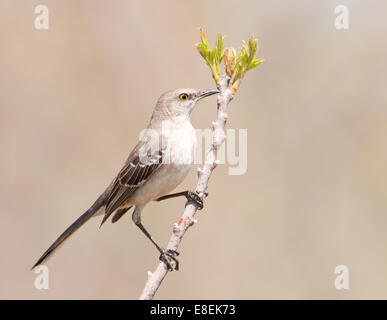Northern Mockingbird, Mimus polyglottos, a very vocal songbird perched on a twig in early spring, against muted - Stock Photo