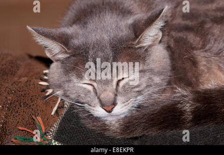 Closeup of a blue tabby cat sleeping on the back of a couch - Stock Photo