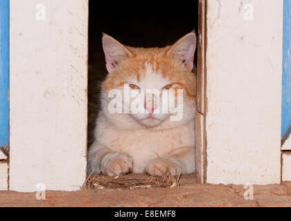 White and ginger tomcat looking through barn doors at the viewer - Stock Photo