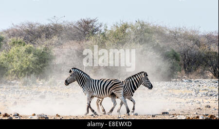 Burchell's Zebras, (Equus quagga burchellii), Etosha National Park, Namibia - Stock Photo