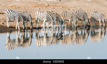 Herd of Burchell's Zebras (Equus quagga burchellii) reflected in the water while drinking, Chudop water hole - Stock Photo