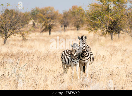 Two Burchell's Zebras (Equus quagga burchellii), mare with young standing next to each other in the dry scrubland - Stock Photo