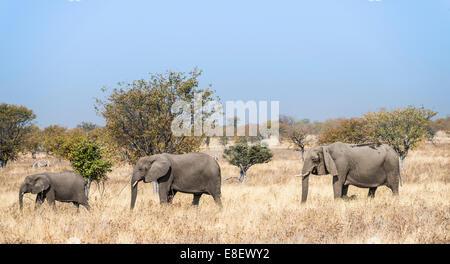 Three African Elephants (Loxodonta africana), moving through the dry grass, Etosha National Park, Namibia