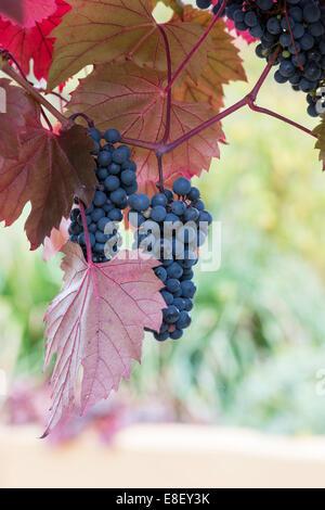 Vitis vinifera. Black Grapes on the vine - Stock Photo